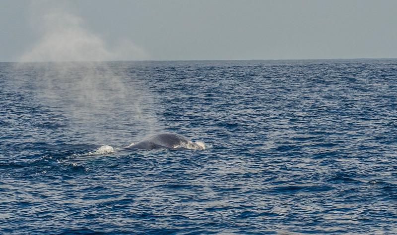 P4253675 Vagamundos 16 Mirissa avistamiento ballenas