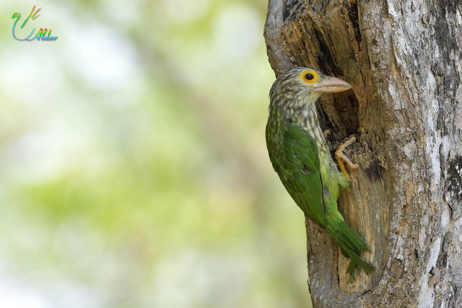 Lineated_Barbet_6835