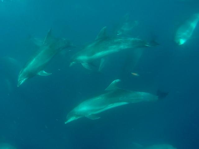 Snorkling med delfinen