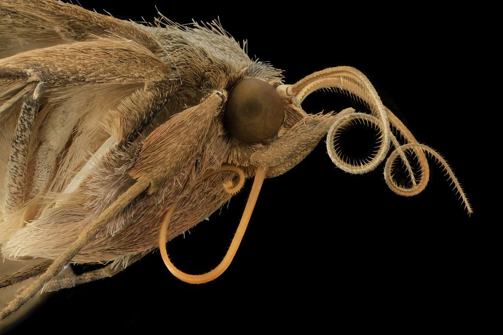 velvetbean caterpillar  moth  side face 2014