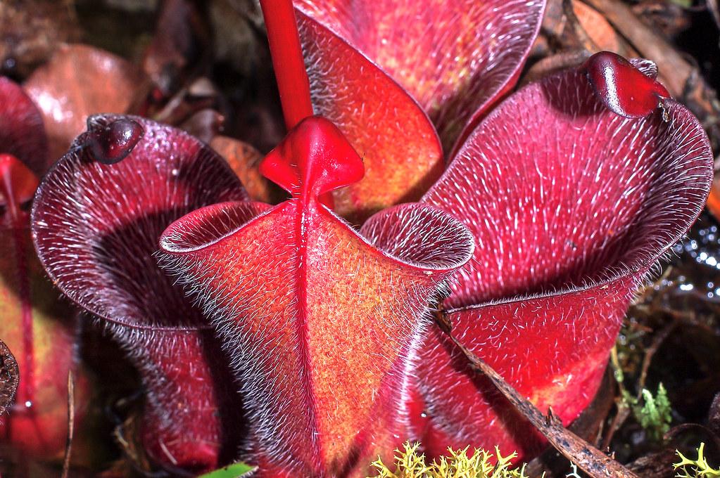 Carnivores et orchidées in situ  - Page 3 16279702422_044f1e5495_b