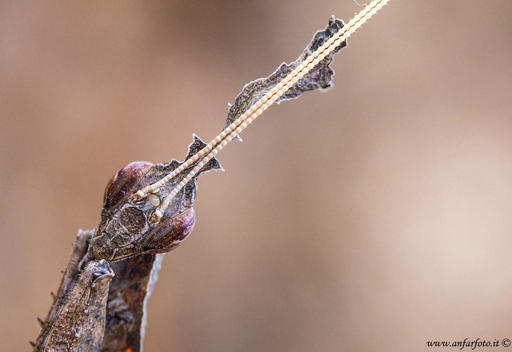 Mantide Phyllocrania paradoxa