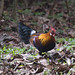 IMG_7027 Red junglefowl