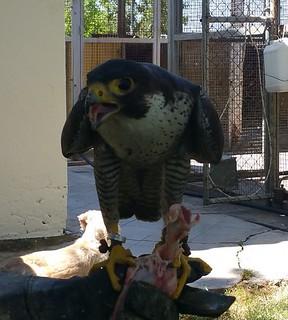 AionSur 27272982740_6ca2d85356_n_d Una mañana con los halconeros de la Base Aérea de Morón Medio Ambiente
