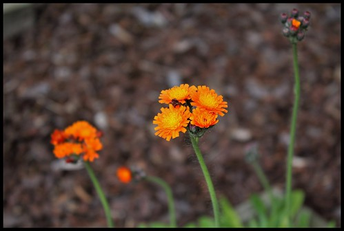 Pilosella aurantiaca ( Hieracium- épervière orangée) (3)
