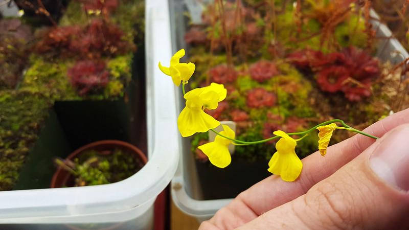 Utricularia praelong flowers.