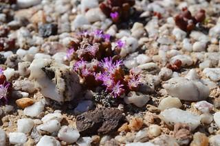 Oophytum nanum オオフィツム 胡桃玉