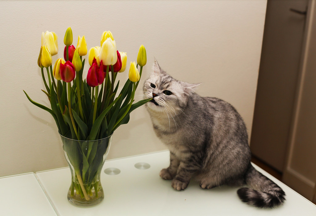 cat eating tulips available at getty images klems