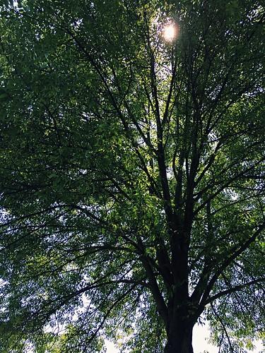 Sun Thru Tree