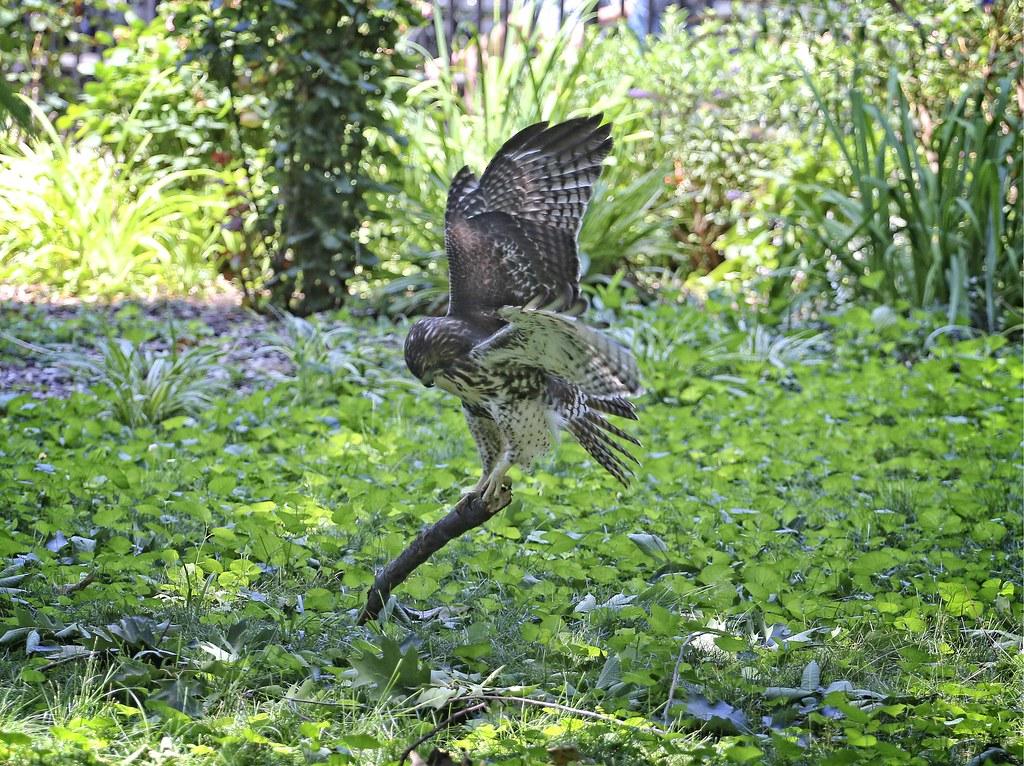 Hawk capturing a stick
