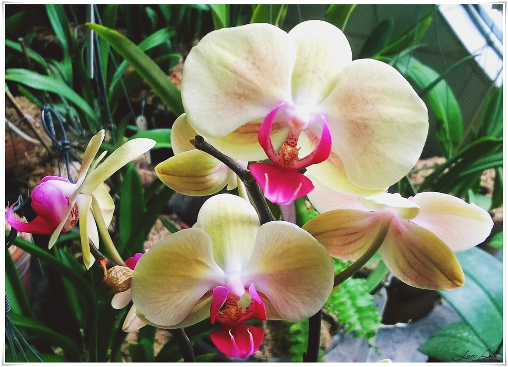 lux orchid
