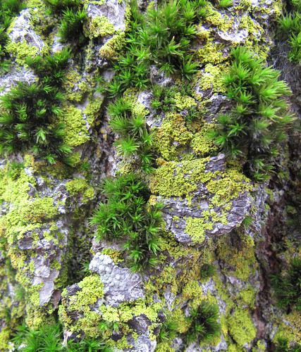 Moss growing on urban trees