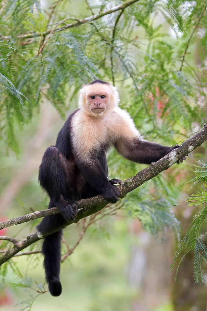 Capuchin Monkey Agile And Lean Capuchin Monkeys Weigh