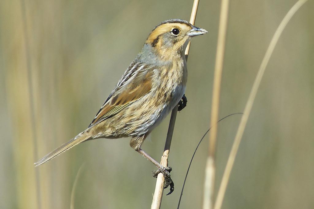 Nelsons Sparrow  Audubon Field Guide