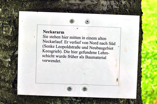 Plankstadt bei Heidelberg: Kirschbaum-Allee Neckararm früherer Neckarverlauf Baumkrankheit Pilzbefall Monilia-Krankheit Spitzendürre Foto Brigitte Stolle Mai 2016