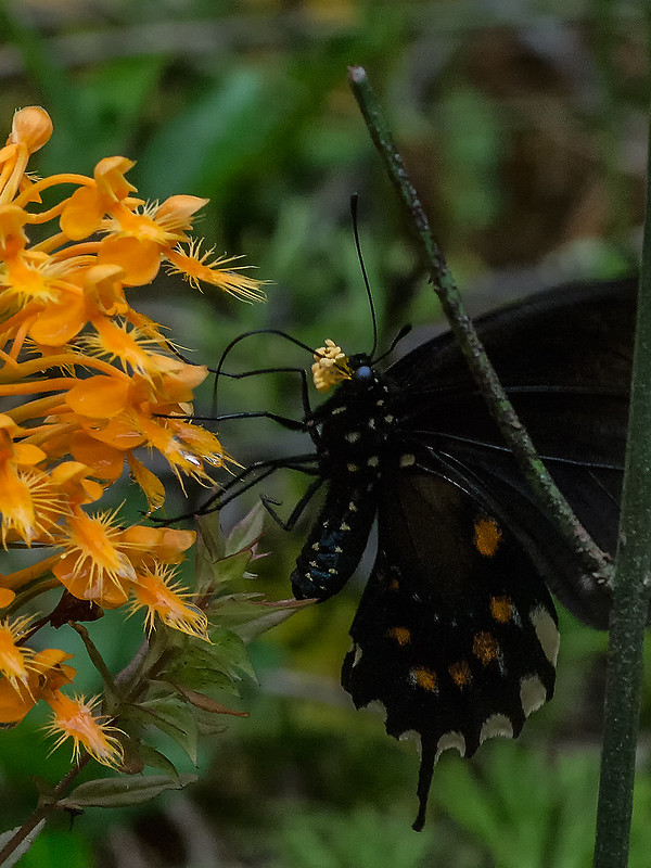 Pipevine Swallowtail pollinating Yellow Fringed orchids
