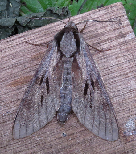 Pine Hawk-moth Sphinx pinastri Tophill Low NR, East Yorkshire July 2016