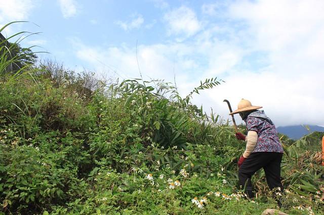 部落長輩採集藤心。圖片來源:本報資料照;攝影:黃苑蓉