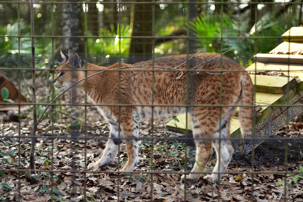Serval Caracal Hybrid Charles Barilleaux Flickr