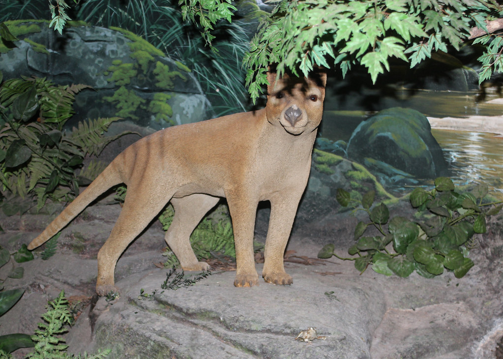 Thylacine   Model of a Thylacine species at the ...