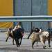Dog walking Svalbard Style