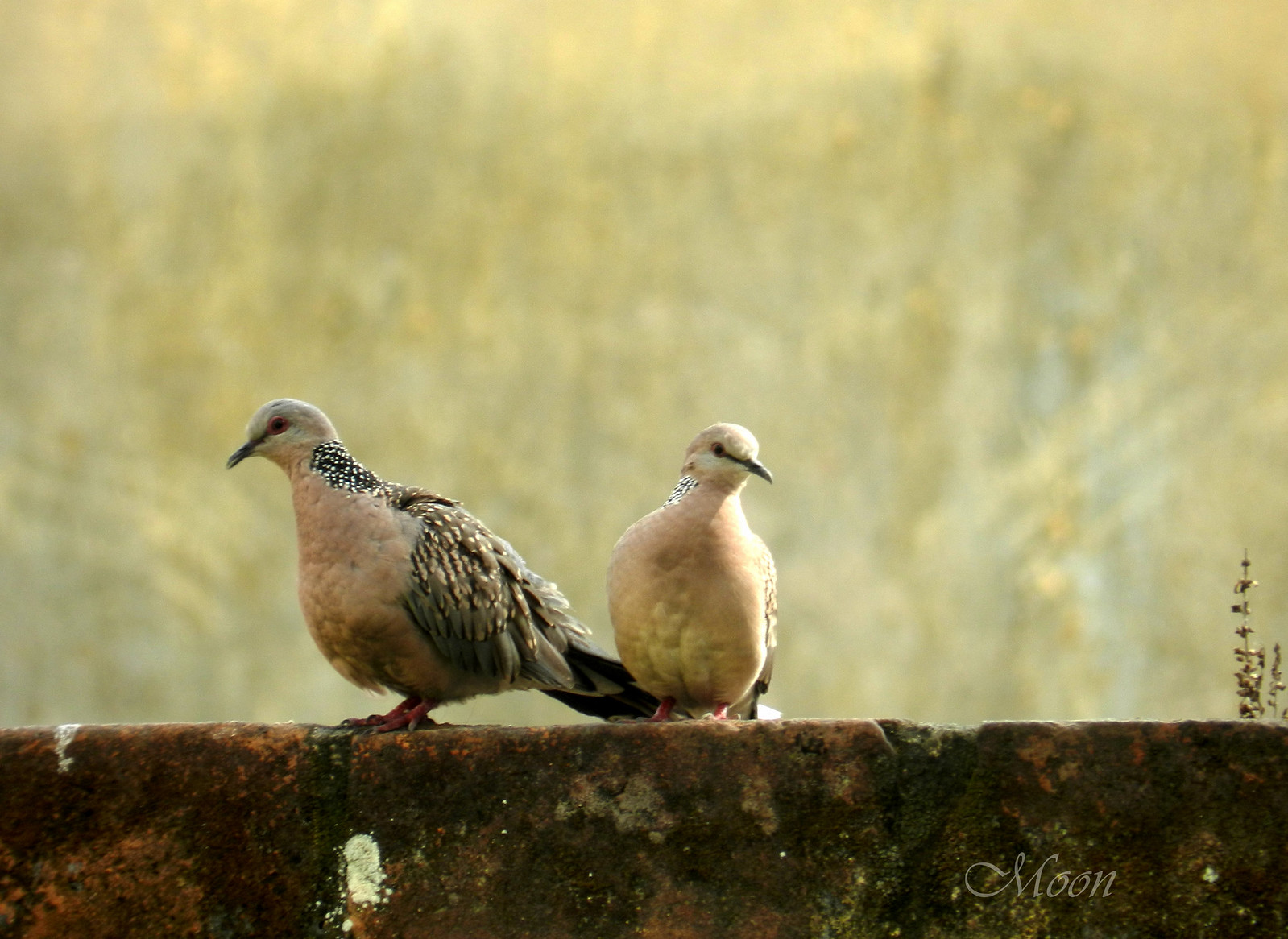 doves, pigeons, birds, daily post photo challenge, partners