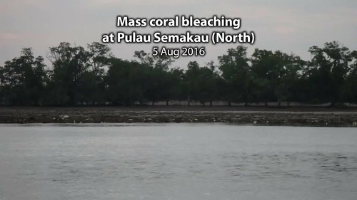 Mass coral bleaching at Terumbu Raya, 5 Aug 2016