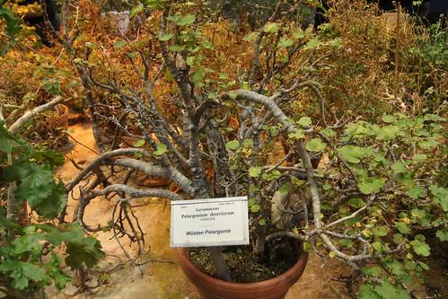 P. desertorum