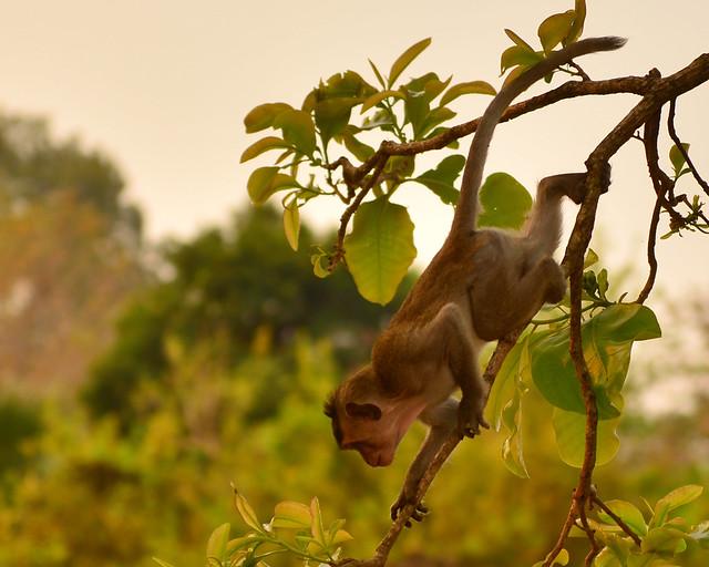 Monos de Angkor Wat trepando por los árboles al amanecer
