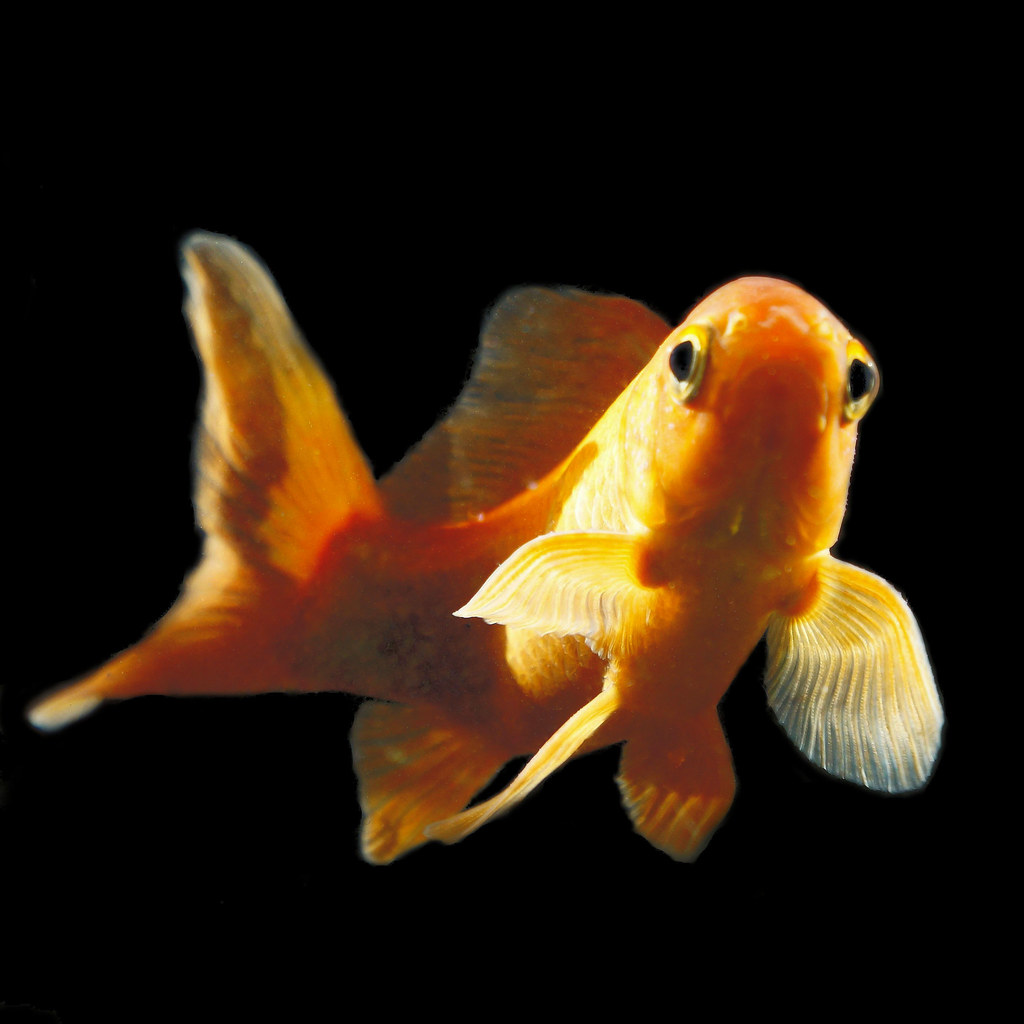 Goldfish for Pesce rosso butterfly