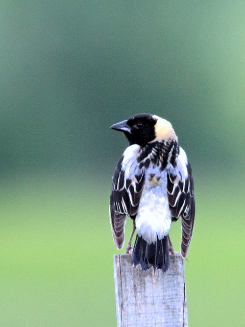 Bobolink on post HDR 04-20160605