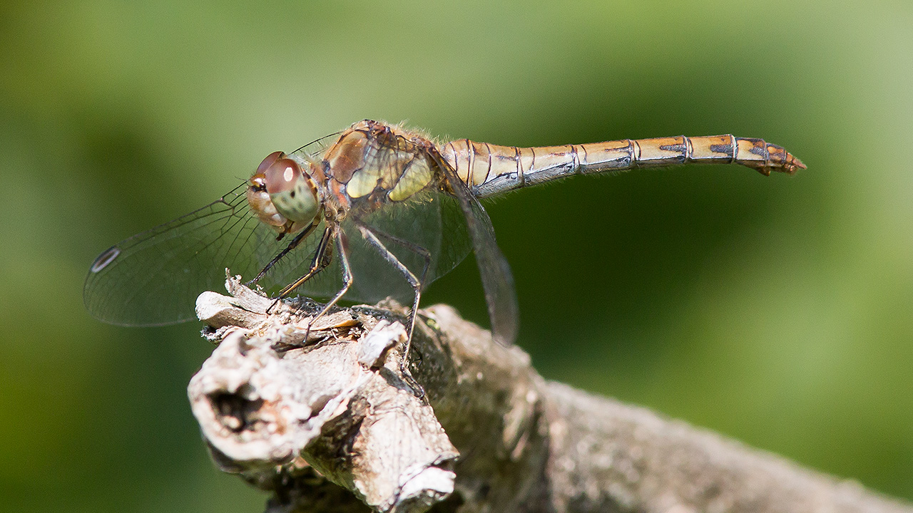 Bruinrode heidelibel ♀