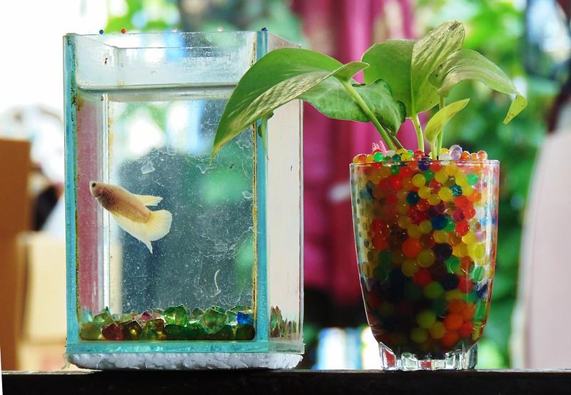 Миниаквариум с рыбкой петушком, фото фотография лабиринтовые рыбы