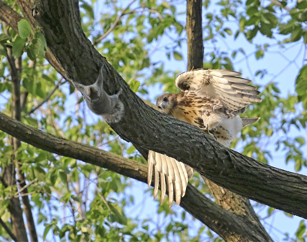 Tompkins Square fledgling investigates a squirrel