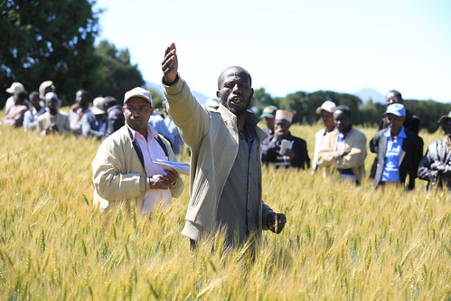 A participating farmer in Sinana demonstrating action research on wheat to his fellow farmers, different local and national partners during farmers field day (photo credit: ILRI/A.Habtamu)