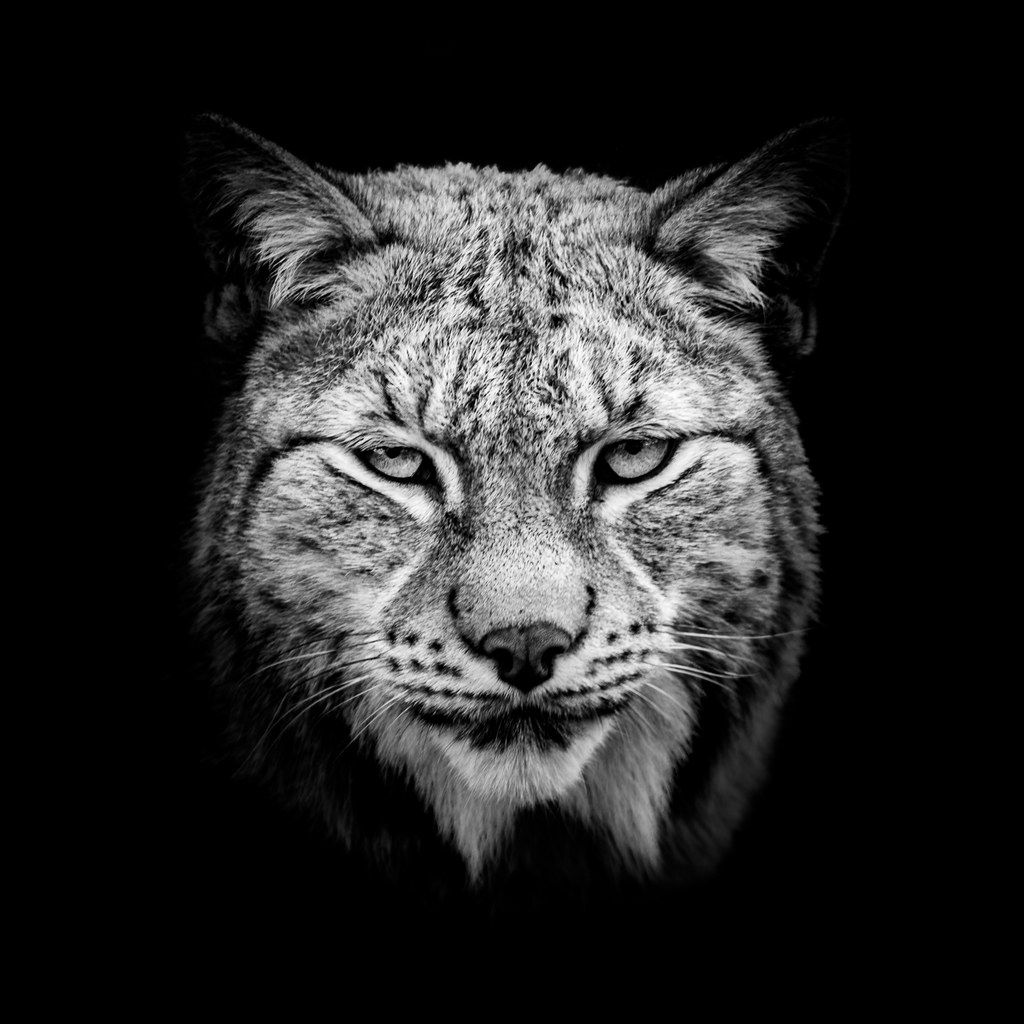 The Lynx in black   The biggest wild cat in Norway and ...