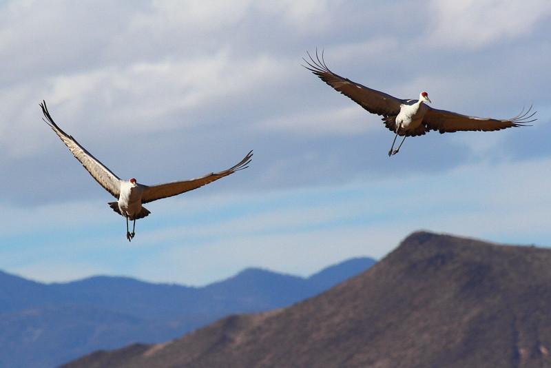 IMG_1483 Sandhill Cranes, Bosque del Apache National Wildlife Refuge