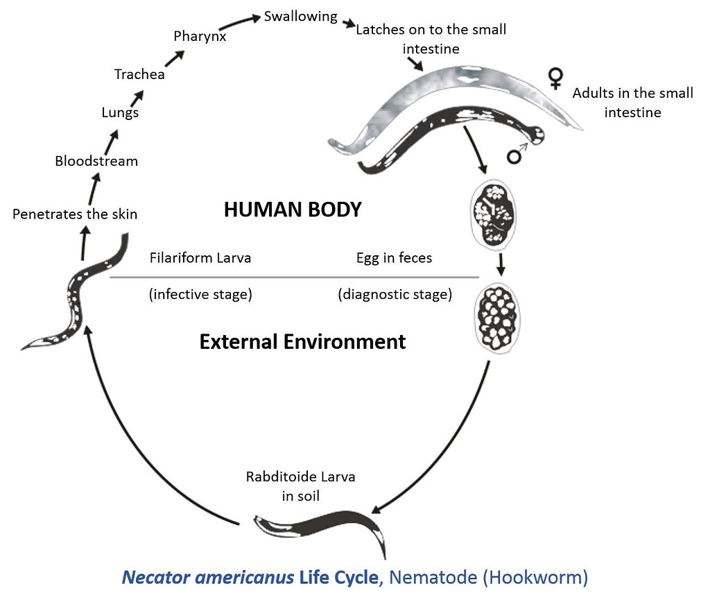 Necator Americanus Life Cycle