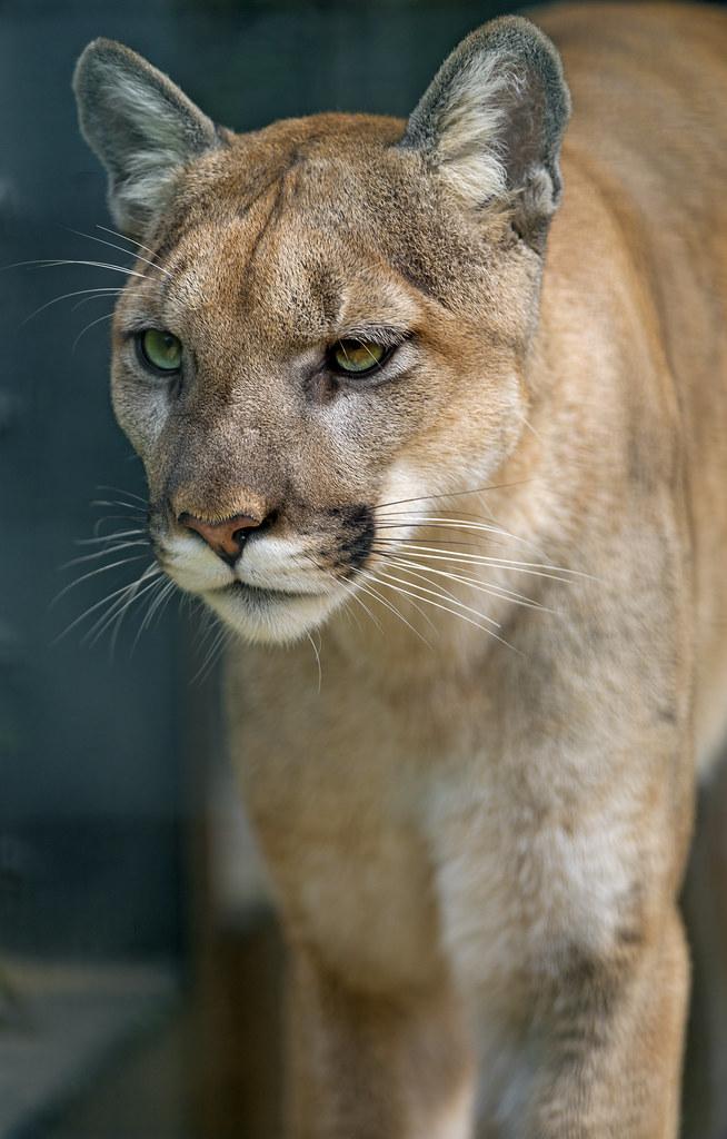 Walking Puma Portrait Of A Walking Puma Taken At The