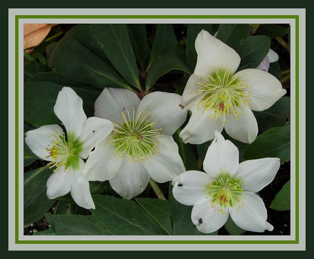 Elleboro bianco detto anche rosa di natale fiore del mio g for Elleboro bianco