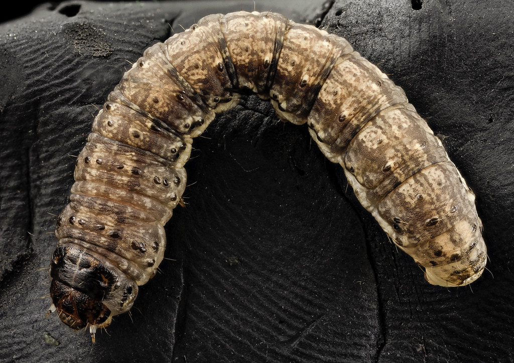 Black Cutworm Curled 2014 06 04 19 18 49 Zs Pmax