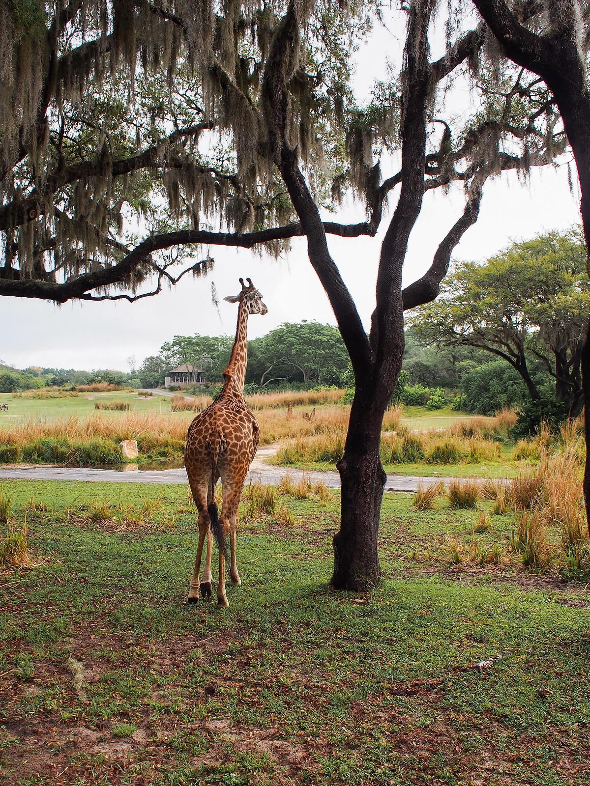 Giraffe in Disney Animal Kingdom