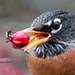 American Robin swallowing fruit using its tongue