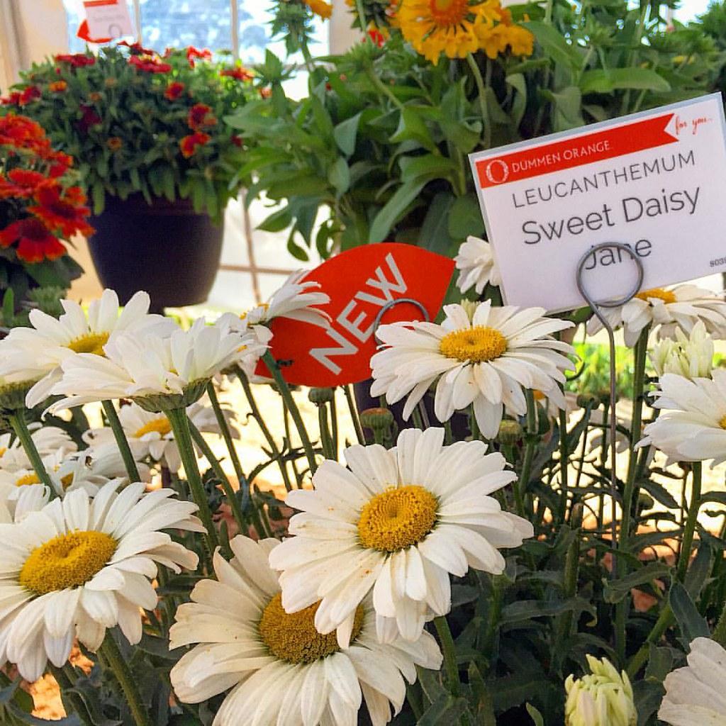 Sweet Daisy Jane Leucanthemum From Dummenorange Flickr