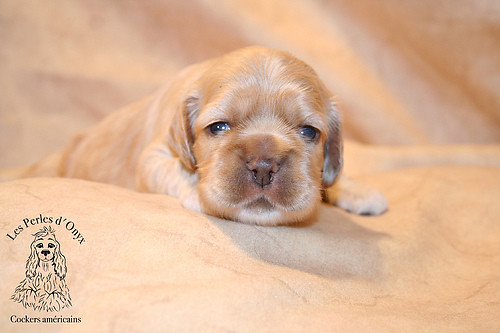 Chiot cocker américain | Flickr - Photo Sharing!