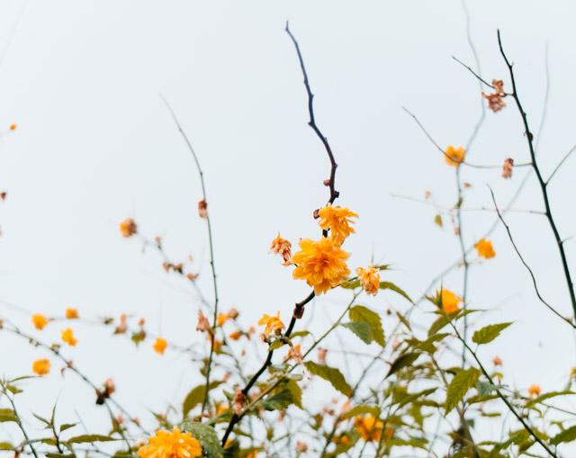 kerria japonica flowers
