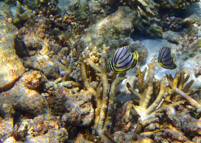 Pececitos amarillos buscando comida entre los corales de Maldivas