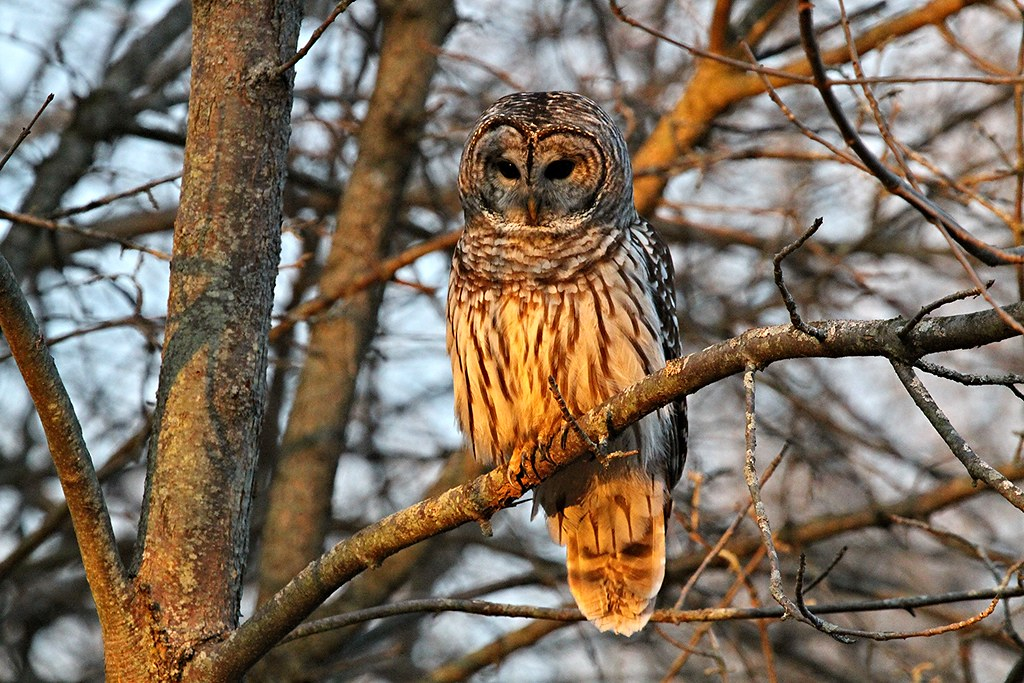 The Barred Owl | A Barred Owl reveals its talons, which ...