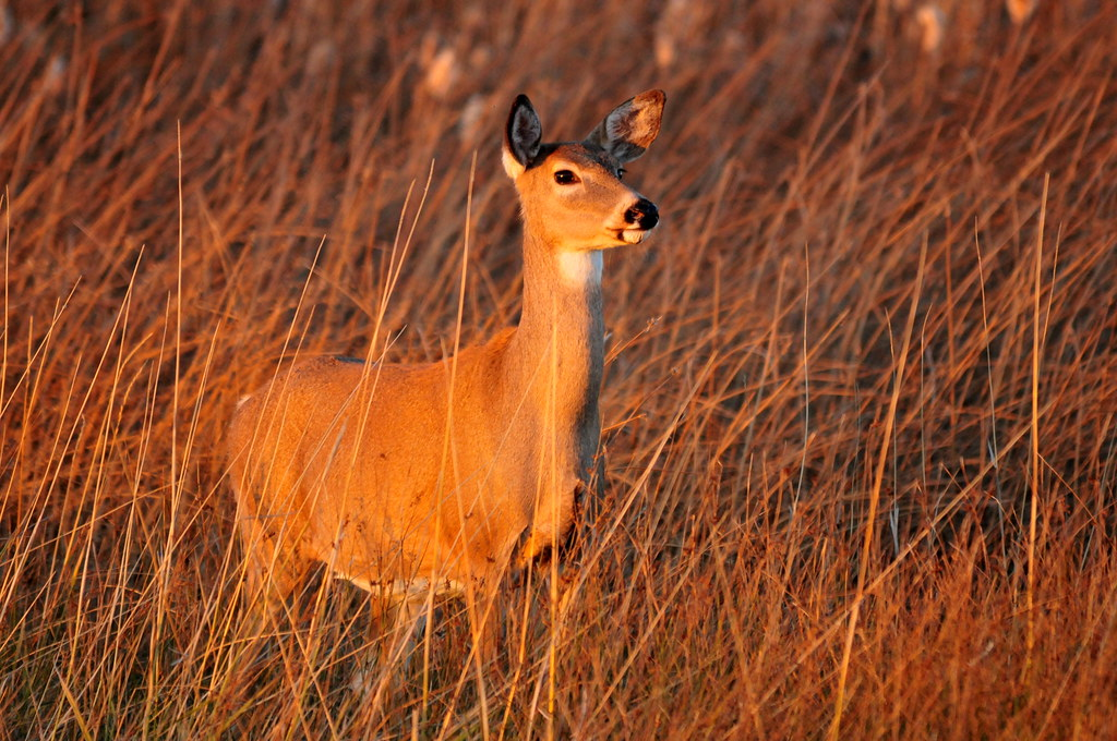 White tailed deer seedskadee nwr photo tom koerner for Tennessee fish and wildlife