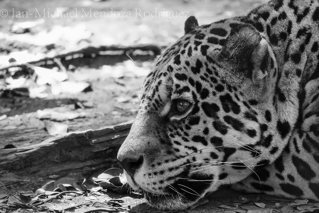 Mayaguez Zoo Puerto Rico Jaguar Mayaguez Zoo Puerto